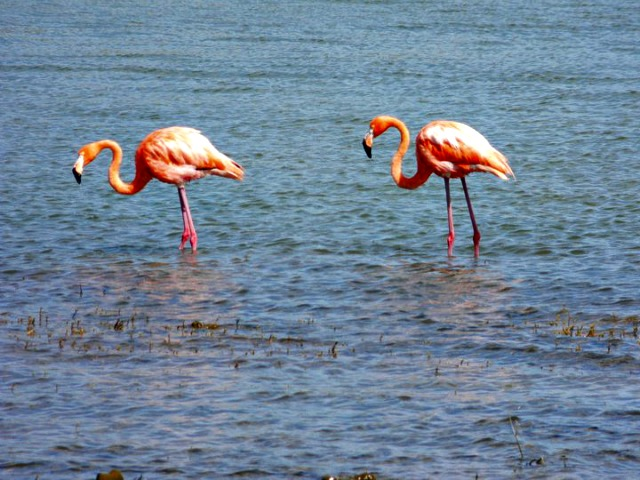 bright pink flamingos in Bonaire